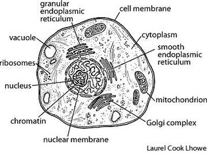 Info science info king cell membraneis a layer of tissue that surrounds a cell cytoplasm is the clear gel like substance outside the nucleus of the cell of plants ccuart Gallery